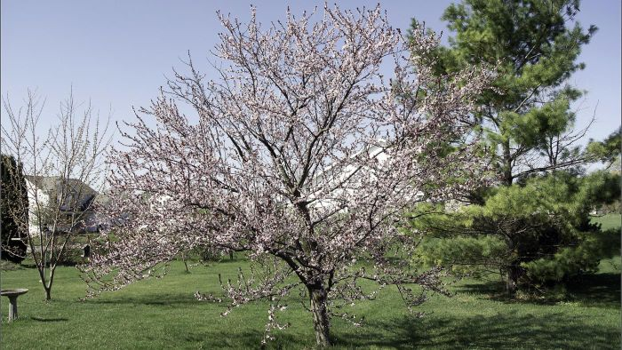 How Do You Transplant a Newport Plum Tree?