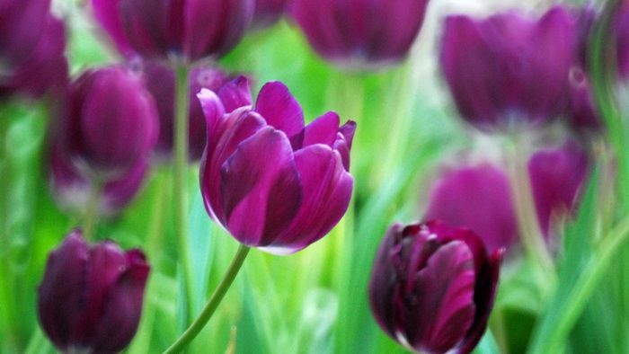 What Does a Tulip Represent?