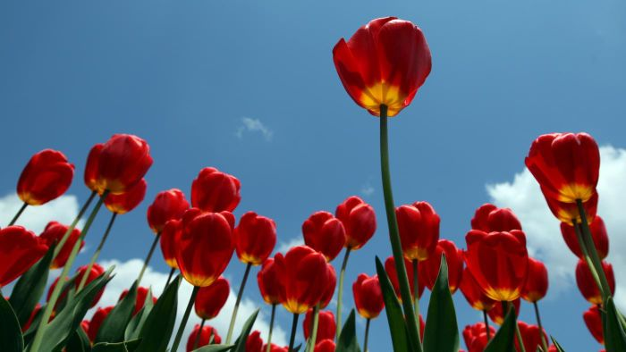 Are Tulips Poisonous?