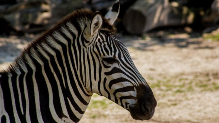What Two Animals Make a Zebra?