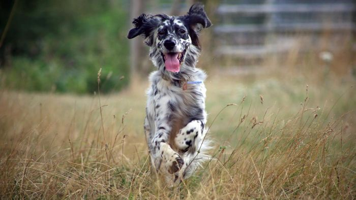 What Type of Dog Is an English Setter?