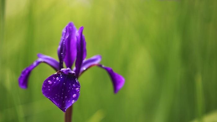 What Type of Plant Is a Water Iris?