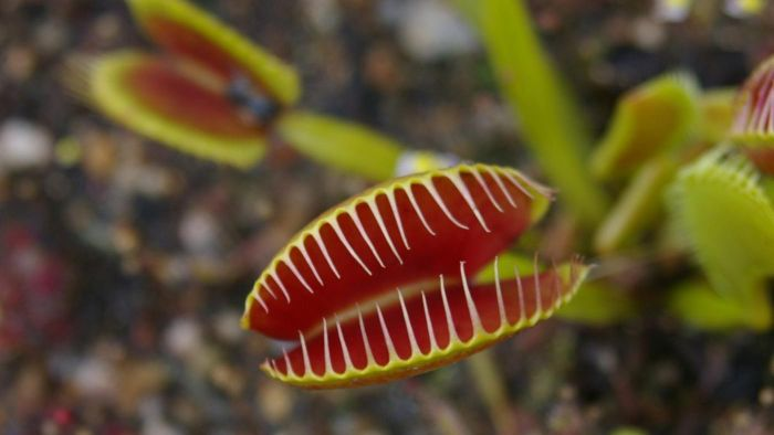 What Type of Soil Is Best for a Venus Fly Trap?