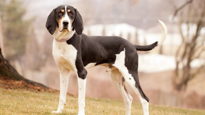What Are Some Types of Coonhounds?