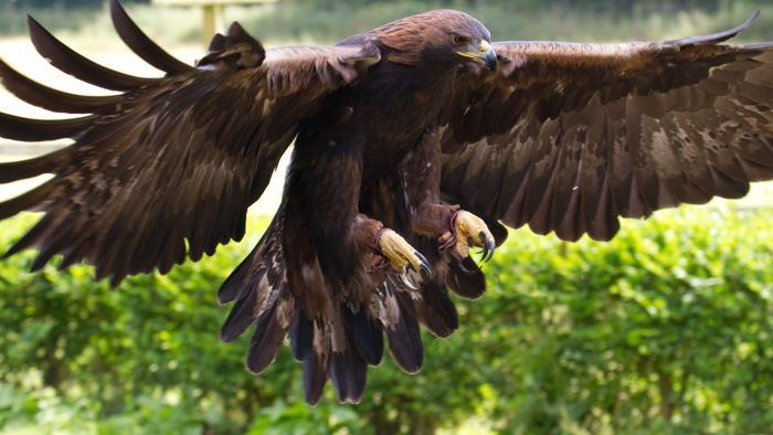 What Is the Typical Habitat of the Golden Eagle?