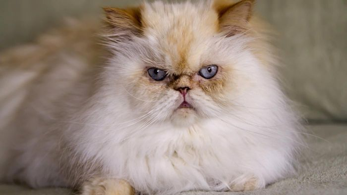 What Is a Typical Himalayan Cat Personality?
