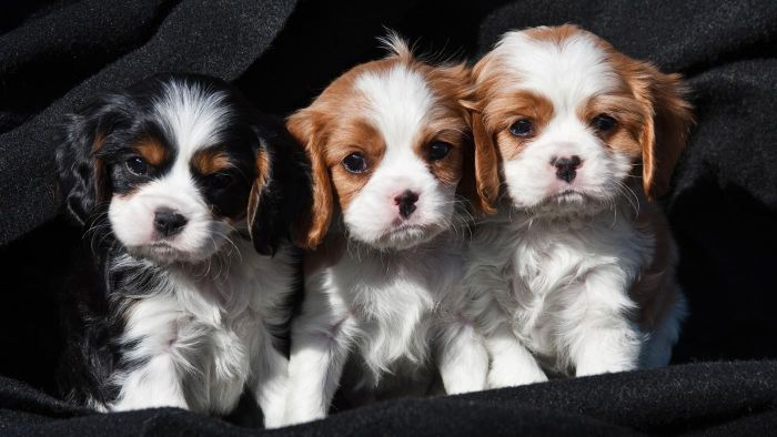 What Is the Typical Temperament of a Cavalier King Charles Spaniel?