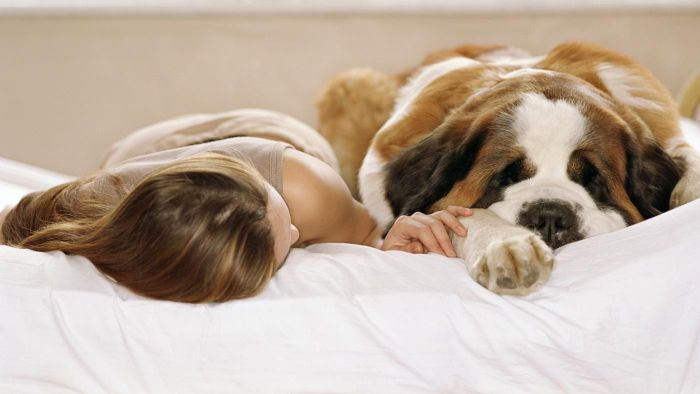 What Is the Typical Weight of a Saint Bernard?