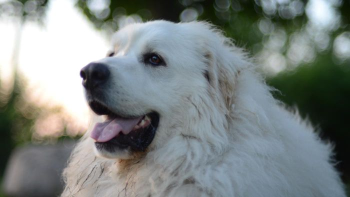 What Are Some Unique Names for a Great Pyrenees Dog?
