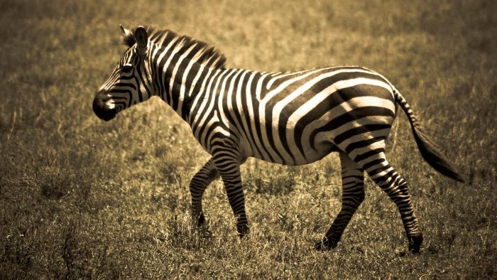 What Are Some Unusual Facts About Zebras?