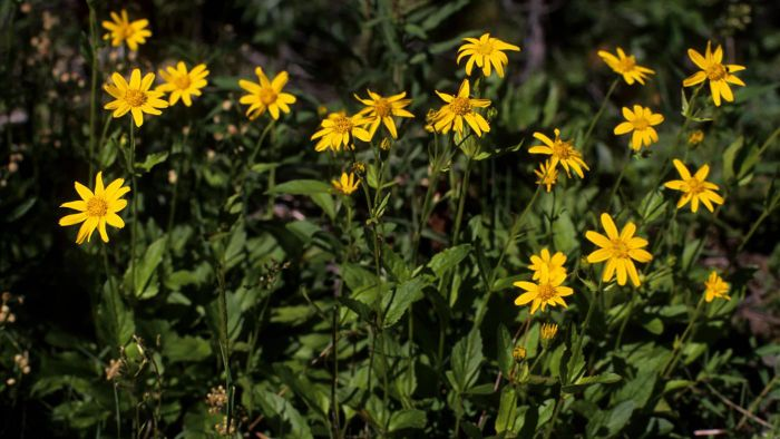 What Are the Uses of the Arnica Flower?