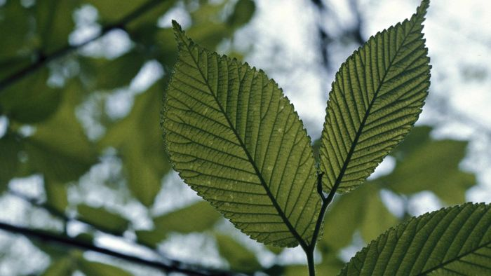 What Are the Uses of Slippery Elm Powder?