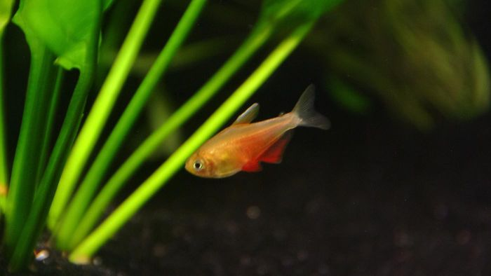 What Is a Von Rio Tetra Fish?