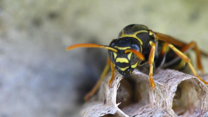 Where Do Wasps Live?