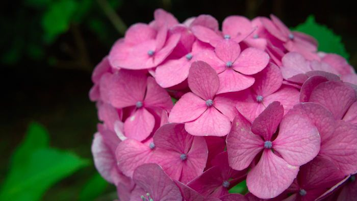 What Are the Best Ways to Dry Hydrangea Flowers?