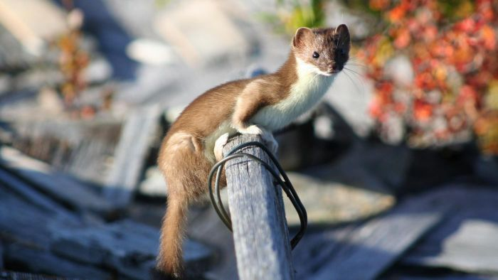What Does a Weasel Look Like?