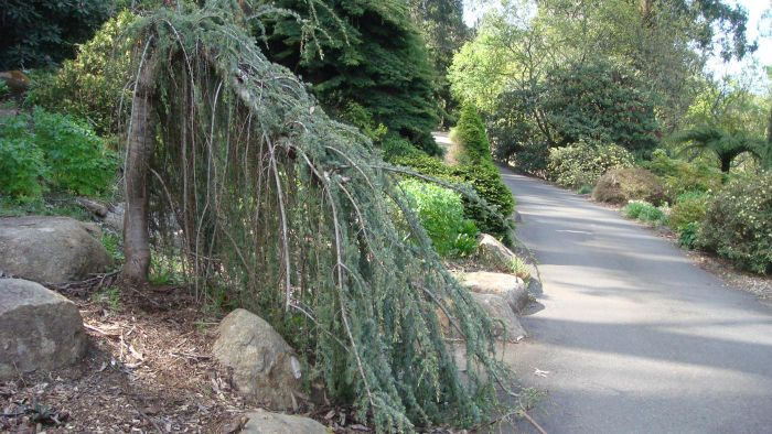What Is a Weeping Cedar Tree?