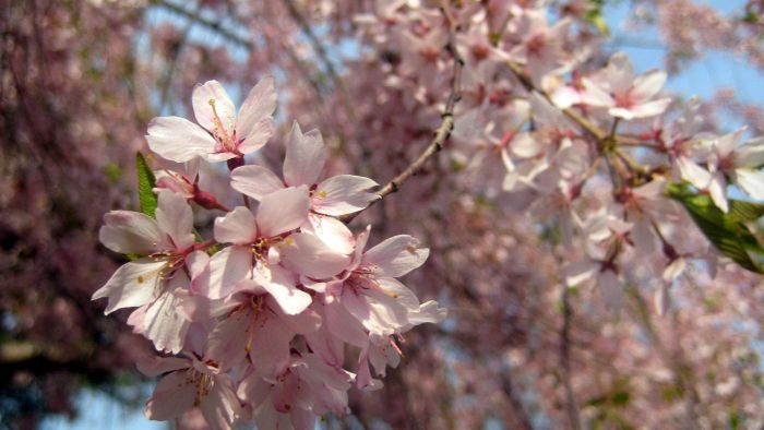 What is a Weeping Higan cherry tree?