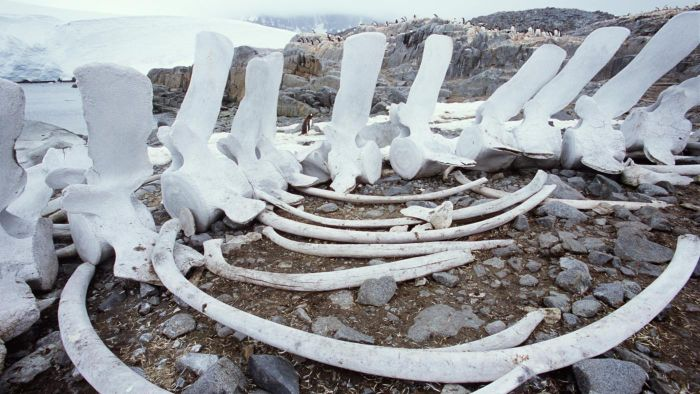 What Is a Whale Skeleton Made Of?