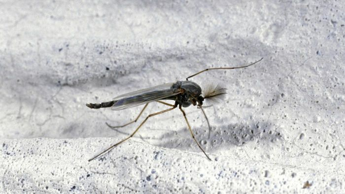 What Causes Gnats