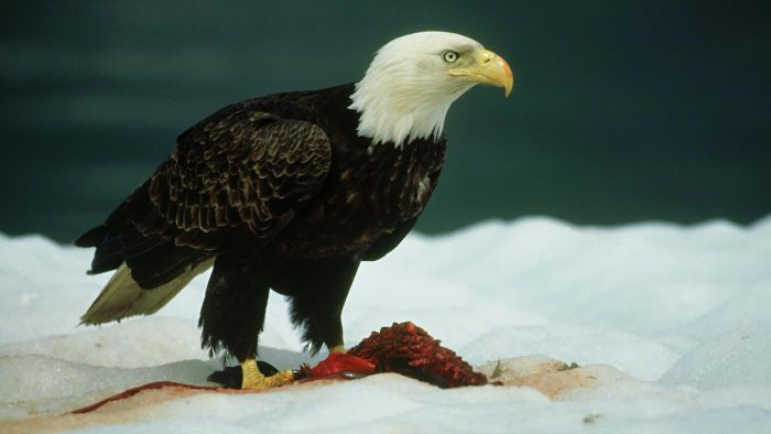 What Do Bald Eagles Eat?