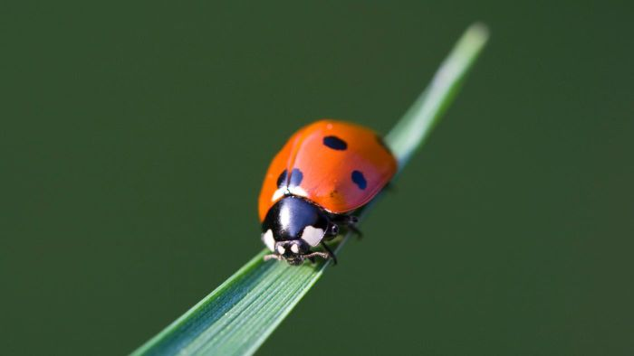What are male ladybugs called?