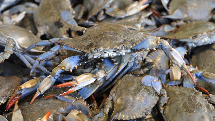 What animals eat blue crabs?