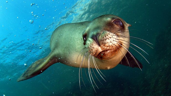 What Eats Sea Lions?
