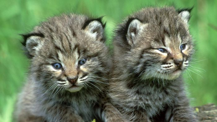 What Is a Baby Bobcat Called?