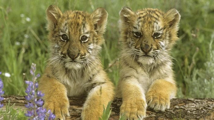 What Is a Baby Tiger Called?