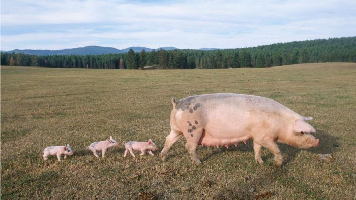 What Is a Female Pig Called?