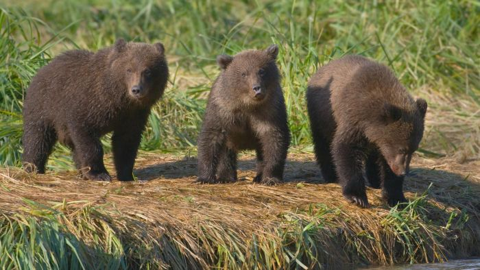 What Is a Group of Bears Called?
