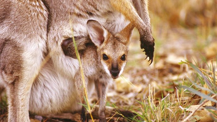 What Is a Kangaroo's Pouch Called?