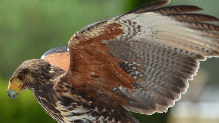 What Is a Male Hawk Called?