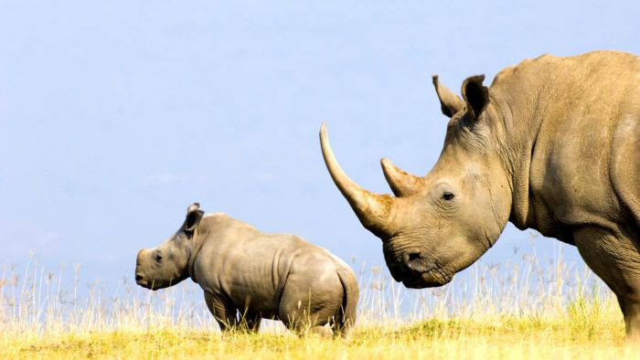 What Is a Rhino's Horn Made Out Of?