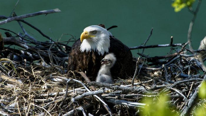 What Is an Eagle's Nest Called?