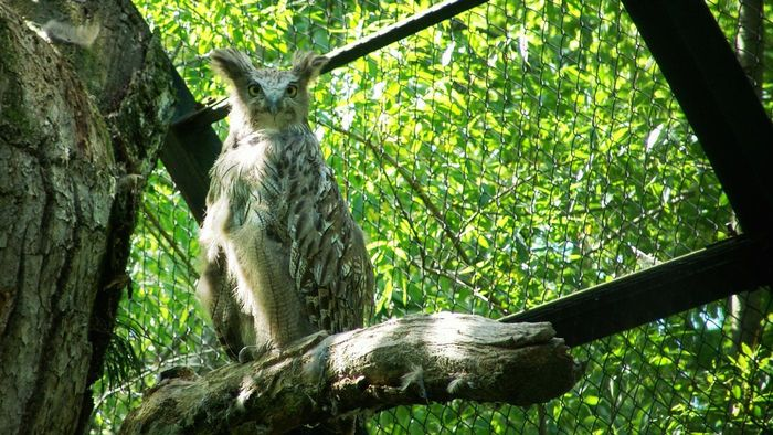 What is the biggest owl in the world?