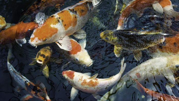 What Is the Difference Between Koi and Goldfish?