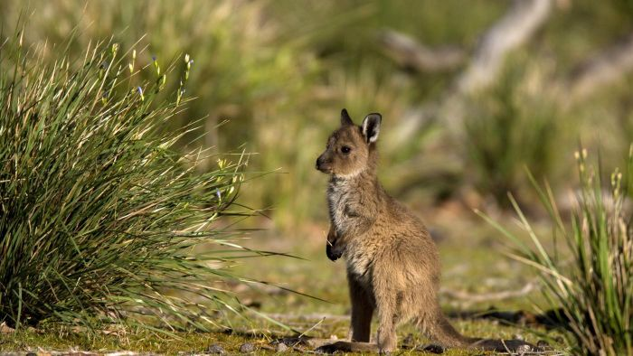 What Is the Name of a Baby Kangaroo?