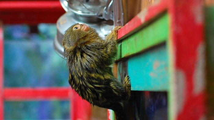What Is the World's Smallest Monkey?