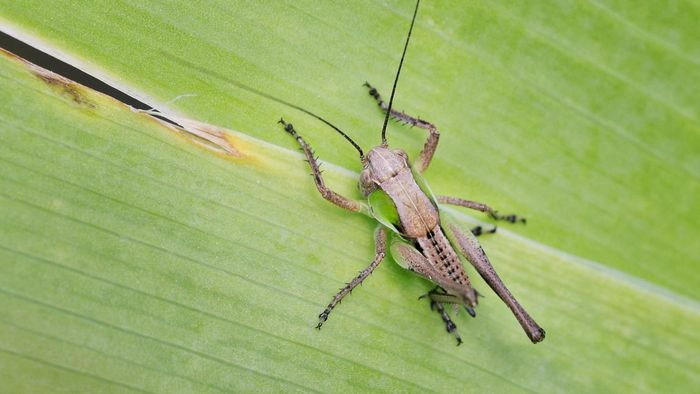 What Kind of Plants Do Grasshoppers Eat?