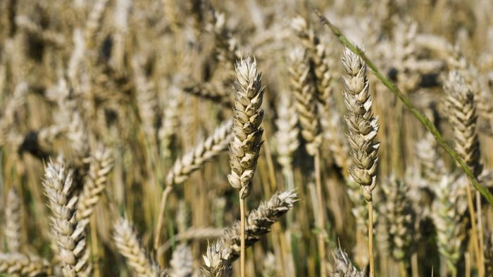 Are Wheat and Barley the Same?
