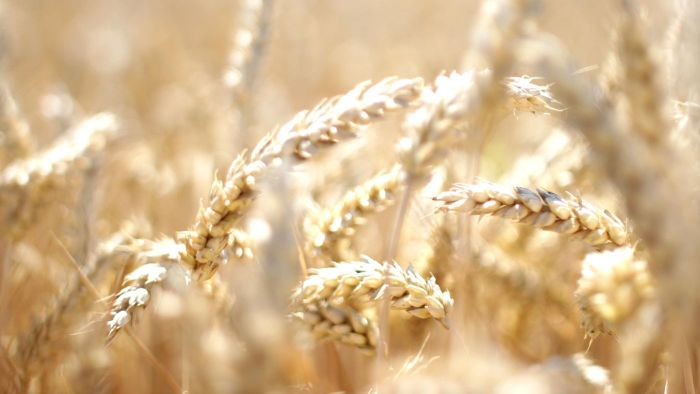 What Is Wheat Intolerance?