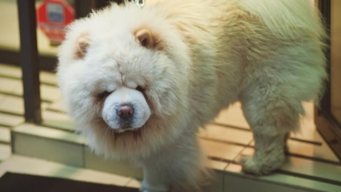 What Is a White Chow Chow?