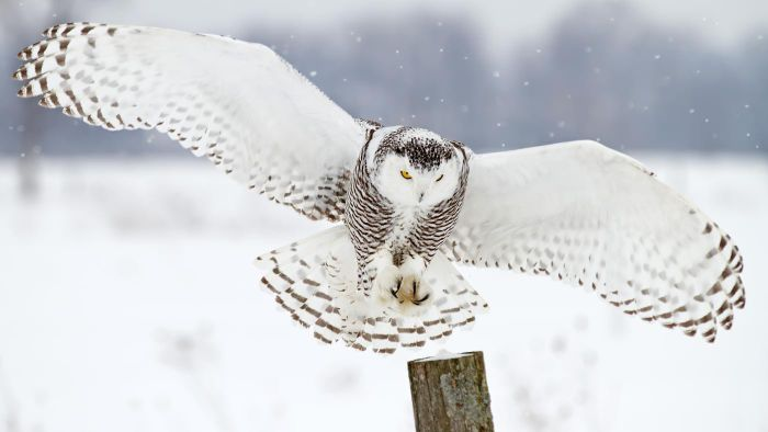 What Do White Owls Symbolize Reference