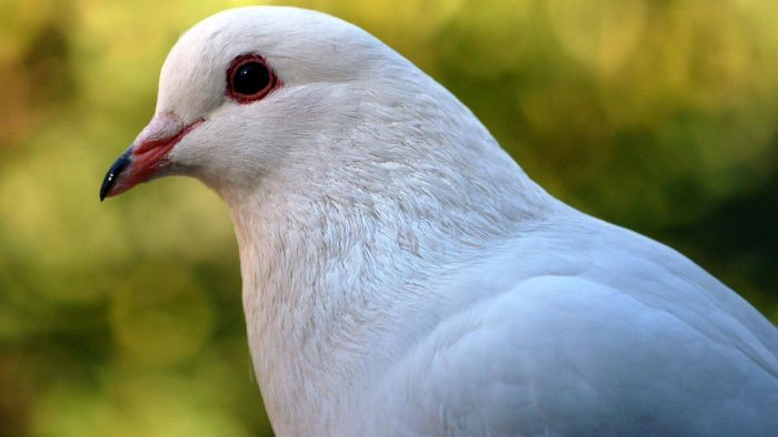 what does a white pigeon symbolize reference com