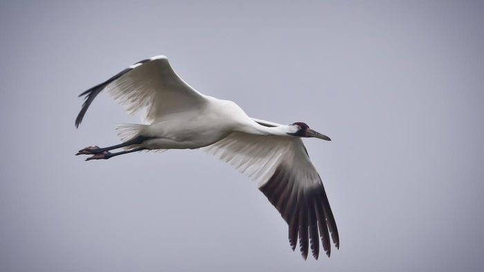 Where Do Whooping Cranes Live?