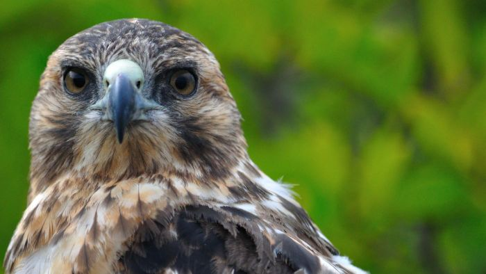 Why Are the Galapagos Hawks Endangered?