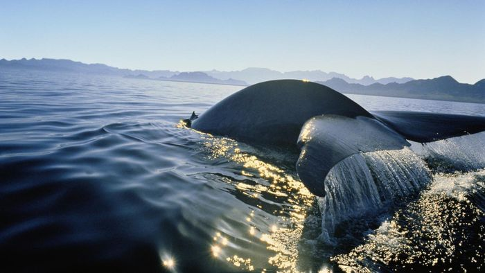 Why Is the Blue Whale Endangered?