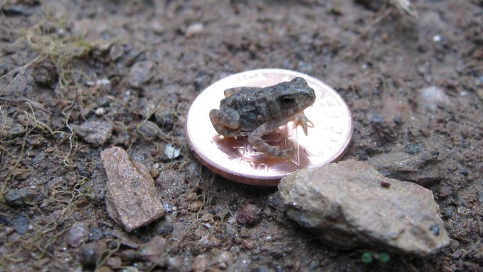 What do wild baby toads eat?